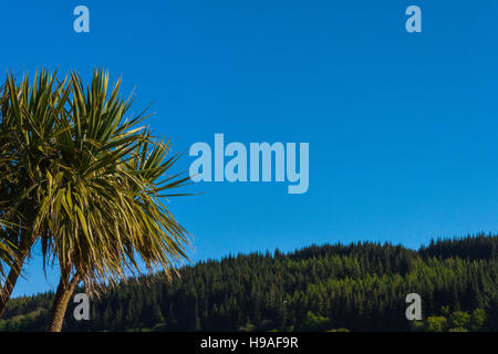 Tropical looking tree against a deep blue sky with woodland in the distance. Lamlash, Arran, Scotland. - Stock Photo