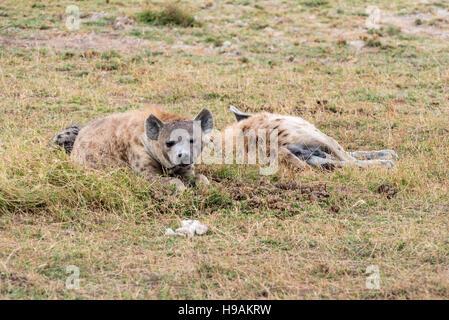 Three Spotted Hyaena lying down - Stock Photo