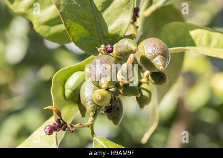 Lemons growing on the tree in spring - Stock Photo