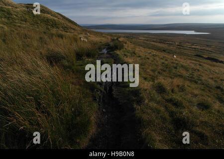 Path, north side Ovenden Moor, descending moor slope with sheep towards Warley Moor Reservoir, South Pennines, Halifax, - Stock Photo