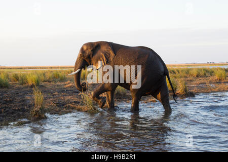Large African elephant Loxodonta africana emerging from a river after swimming across - Stock Photo