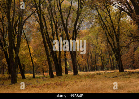 Deer rest under a fall canopy of colored leaves on the valley floor of Yosemite National Park - Stock Photo