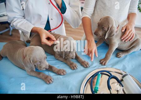 Sleepy puppies examined at the vet - Stock Photo