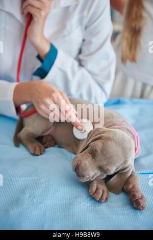Sleeping dog examined by the vet - Stock Photo