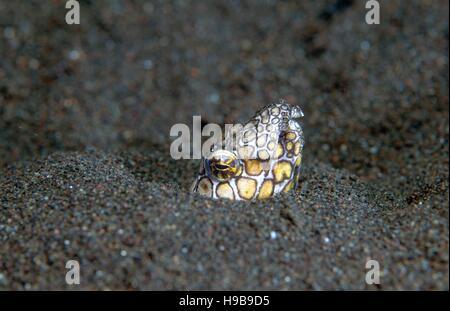 Marbled Snake Eel (Callechelys marmorata), Tulamben, Bali, Indonesia - Stock Photo