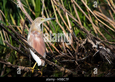 Squacco Heron, (Ardeola ralloides), standing on a branch in the river, Danube Delta, Romania. - Stock Photo