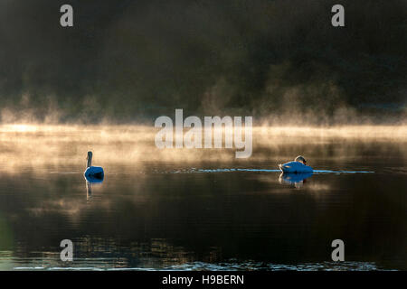 Ardara, County Donegal, Ireland weather. 21st November 2016. Swans on Lake Shanaghan on a cold, crisp winter morning. - Stock Photo