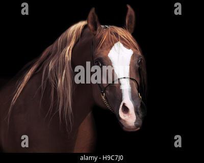 portrait od adult arabian stallion at black background - Stock Photo