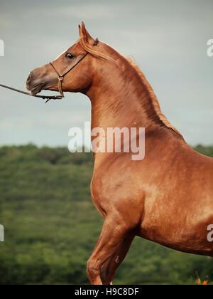 portrait of arabian chestnut stallion at  rear - Stock Photo