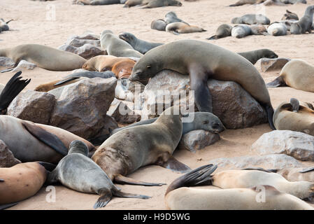 A big funny fur seal on a rock is comically tries to rise above other members of colony at Cape Cross Seal Reserve - Stock Photo