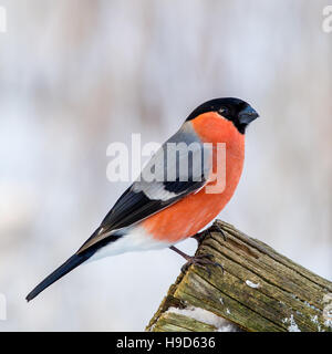 The Eurasian Bullfinch (Pyrrhula_pyrrhula) in profile on the edge of an old wooden fence defocused snowy background - Stock Photo