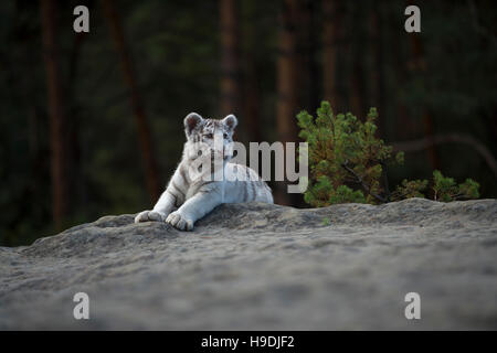 Royal Bengal Tiger / Koenigstiger ( Panthera tigris ), white morph, lying on a rock at the edge of a forest, watching - Stock Photo
