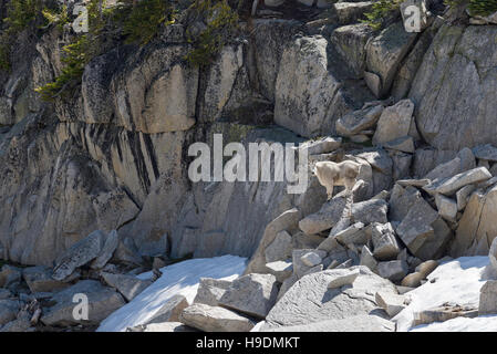 Mountain goat standing on a boulder in Oregon's Wallowa Mountains. - Stock Photo