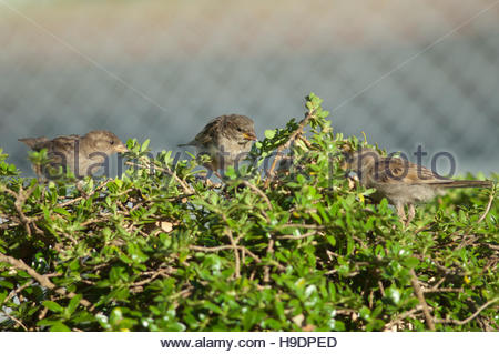 House sparrows (Passer domesticus) feeding. Young male in the middle. Auckland. North Island. New Zealand. - Stock Photo