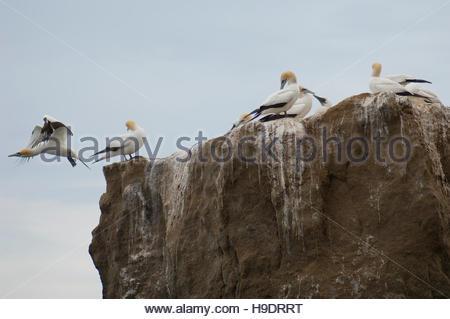 Australasian gannets (Morus serrator). Black Reef gannet colony. Cape Kidnappers Gannet Reserve. North Island. New - Stock Photo