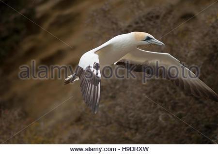 Australasian gannet (Morus serrator). Black Reef colony. Cape Kidnappers Gannet Reserve. North Island. New Zealand. - Stock Photo