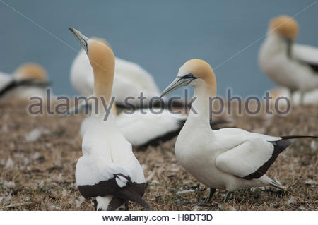 Australasian gannets (Morus serrator). Courtship. Plateau gannet colony. - Stock Photo
