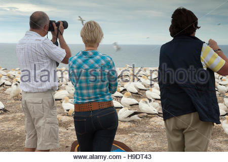 Tourists watching Australasian gannets (Morus serrator). Plateau gannet colony. - Stock Photo