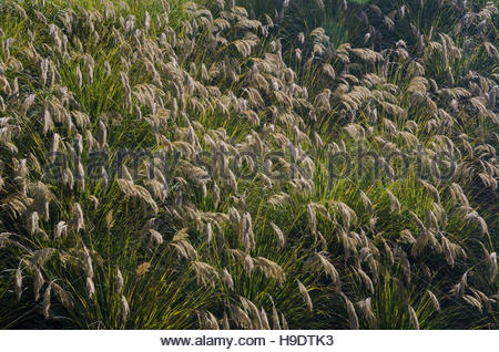 Pampas-grass (Cortaderia selloana). Steward Island. New Zealand. - Stock Photo