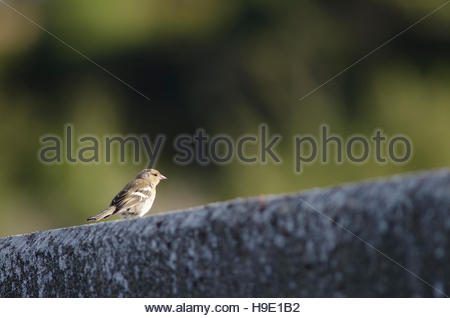 Chaffinch (Fringilla coelebs gengleri). Female. Te Anau. Southland. South Island. New Zealand. - Stock Photo