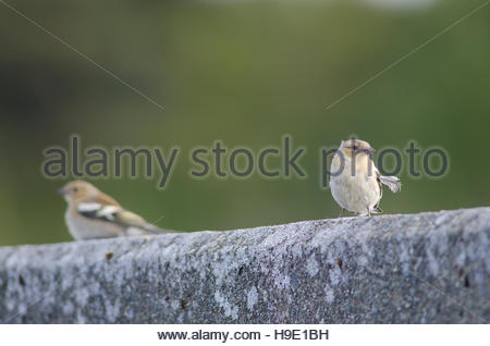 Chaffinches (Fringilla coelebs gengleri). Females. Te Anau. Southland. South Island. New Zealand. - Stock Photo