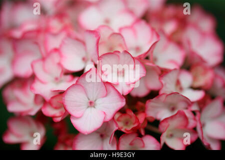 stunning abundant hydrangea cluster of small white flowers with pink edging Jane Ann Butler Photography JABP1717 - Stock Photo