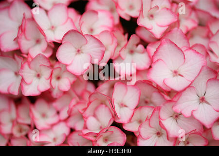 abundant hydrangea macrophylla 'sabrina' cluster of small white flowers with pink edging Jane Ann Butler Photography - Stock Photo