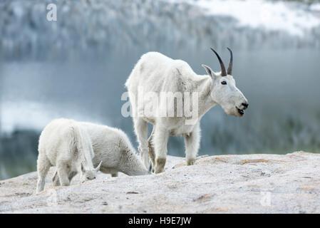 Mountain goat nanny and kids in Oregon's Wallowa Mountains. - Stock Photo