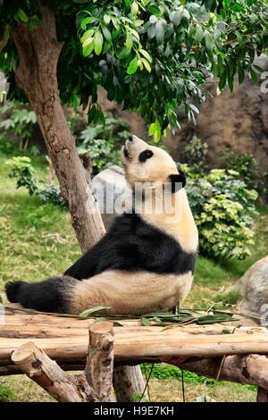 Big panda in zoo Hong Kong - Stock Photo