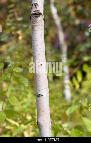Betula utilis 'Silver Shadow'. Himalayan birch. - Stock Photo