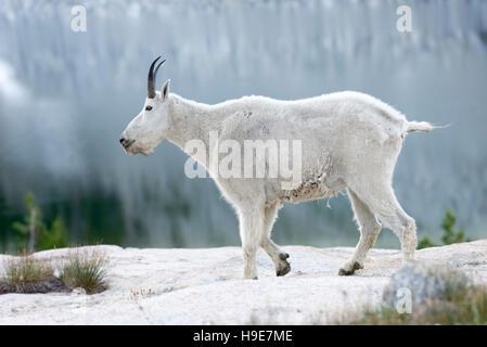 Mountain goat, Wallowa Mountains, Oregon. - Stock Photo