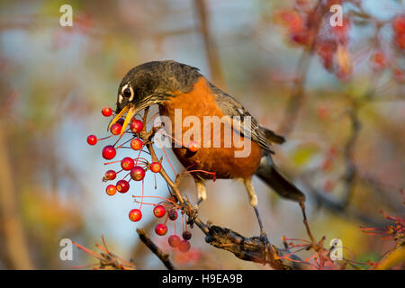 An American Robin stretches to reach a bright red berry on a branch in the morning sun.