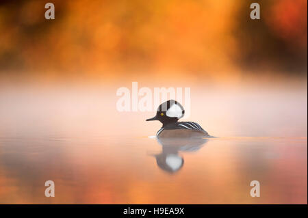 A male Hooded Merganser floats on a calm pond with fog hanging around him surrounded by vivid fall colors. - Stock Photo