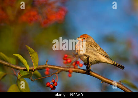 A male House Finch sits perched on a branch full of red berries as the early morning sun shines on him. - Stock Photo