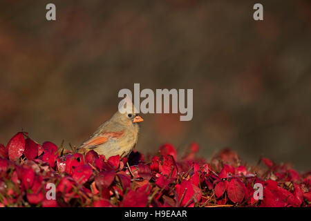 A female Northern Cardinal perches on the top of a very bright red bush on a sunny morning. - Stock Photo