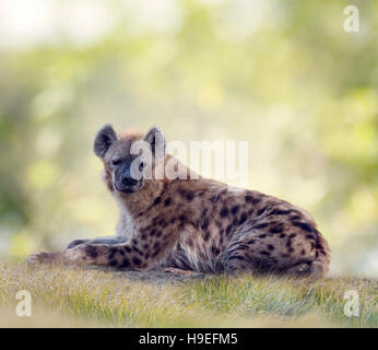 Spotted hyena resting in grassland - Stock Photo
