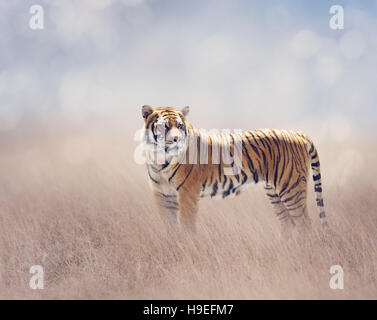 Bengal Tiger Walking in the Grassland - Stock Photo