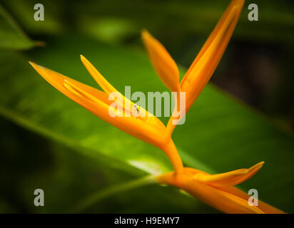 Strelitzia is a genus of five species of perennial plants, native to South Africa. A common name of the genus is - Stock Photo