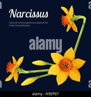 Narcissus. Vector illustration - Stock Photo