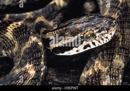Boiga Forsteni. Forsten's Cat snake. Non venomous. Maharashtra, India. - Stock Photo