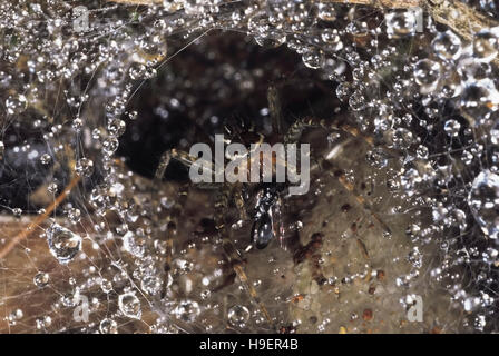 Funnel-web spider. This spider has a wasp in its jaws.Seven of its eight eyes are visible. Valvan lake shores, Maharashtra, - Stock Photo