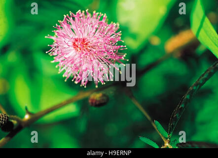 Mimosa Pudica. 'Touch me not' flower with closed leaves. Goa, India. - Stock Photo