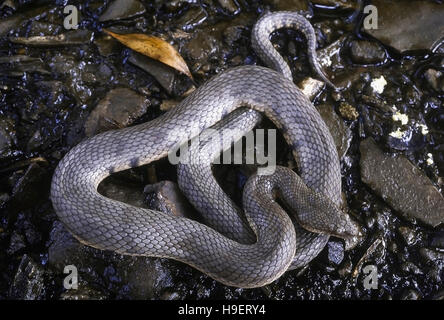 Cerberus rhynchops DOG-FACED WATER SNAKE. Shows adult about to moult. Photographed near Mumbai (Bombay) Maharashtra, - Stock Photo