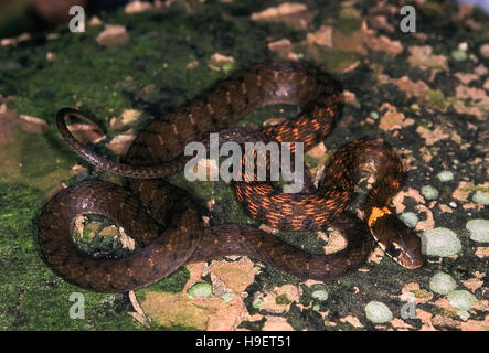 HIMALAYAN KEELBACK Rhabdophis himalayanus. Adult from Changlang district, Arunachal Pradesh, India. - Stock Photo