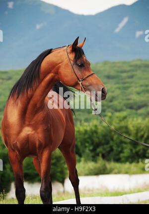 portrait of bay arabian stallion at mountain background - Stock Photo