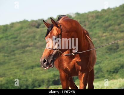 bay beautiful arabian stallion at mountain background - Stock Photo