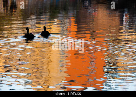 Canada Geese paddle down the Regents Canal on an autumnal day, London near Camden Markets and Camden Lock - Stock Photo