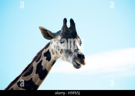 A the neck and head of a reticulated giraffe against a blue sky. - Stock Photo