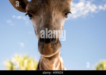 A closeup of a reticulated giraffe head.(giraffa camelopardis reticulata) - Stock Photo