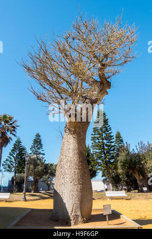Chorisia Speciosa tree, Genoves Park, Cadiz, Andalusia, Spain - Stock Photo